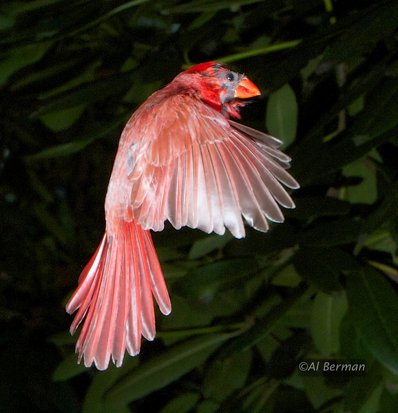 Northern Cardinal in flight