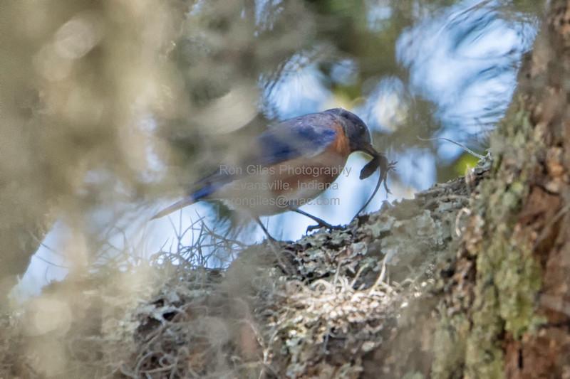 Bluebird, Eastern -5062