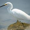 Egret, Snowy -9319