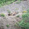 Fox, Red (Alaska) -D41_3345