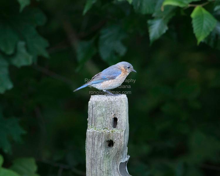 Bluebird, Eastern  D41_0025
