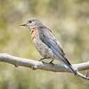 Bluebird, Western -9204