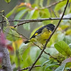Siskin, Yellow-bellied (Male) -7003