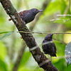 Antbird, Dull-mantled (Female and male)  D41_3044