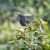 Ani, Groove-billed D41_2082