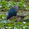 Gallinule, Purple (Male and Female) N60_0641