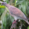 Pigeon, Pale-vented -5203