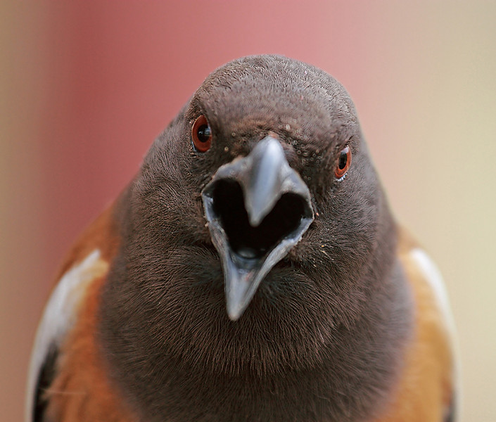 Rufous treepie Extreme close-up
