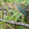 Gallinule, Purple (Female)-9163
