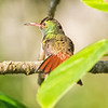 Hummingbird, Rufous-tailed -7402