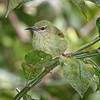 Honeycreeper, Red-legged (Female) -5798
