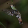 Hummingbird, Rufous-tailed -5360