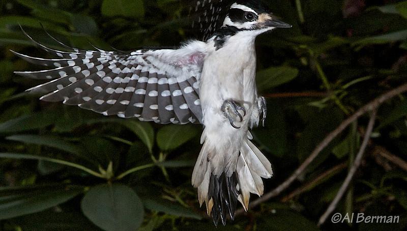 Woodpecker in garden