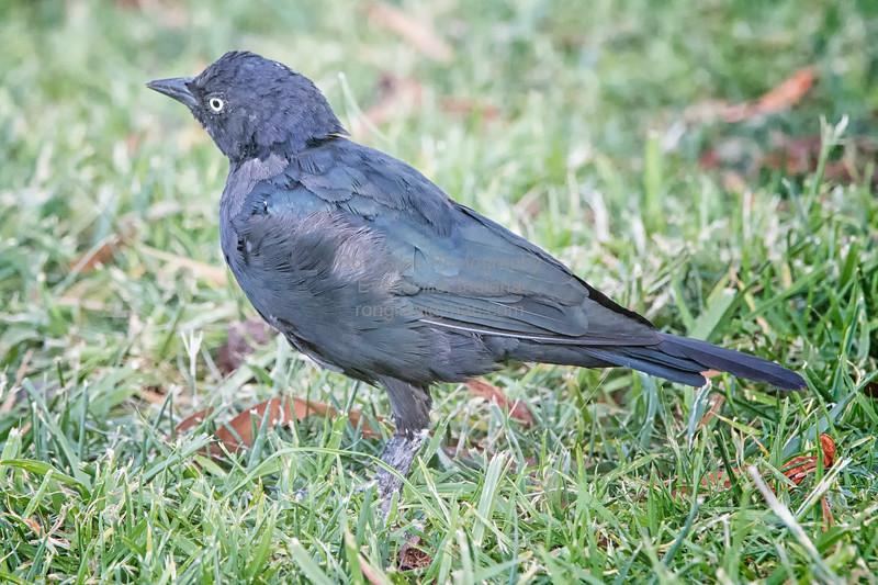 Blackbird, Brewer's -8936