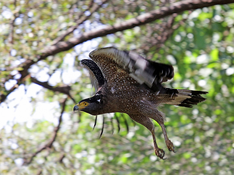 Crested Serpent Eagle takes off