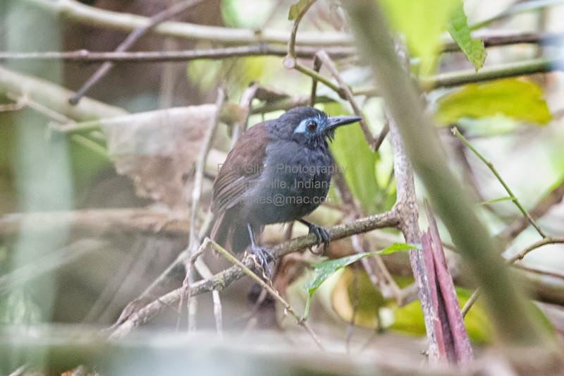 Antbird, Chestnut-backed D41_2891