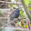 Antbird, Chestnut-backed D41_2891