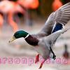Drake Mallard landing in the Flamingo Pond