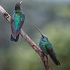 Hummingbird, Green Violet-ear -6155