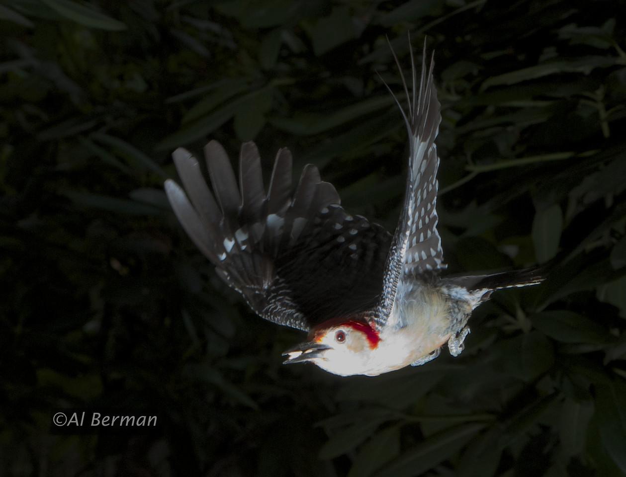 Woodpecker in flight.
