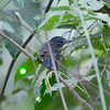 Antshrike, Black-hooded (Endemic to CR)  N60_9677