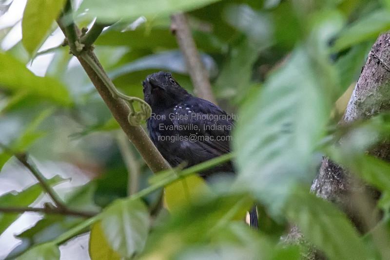 Antshrike, Black-hooded  N60_0471