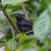 Antshrike, Black-hooded  N60_0471