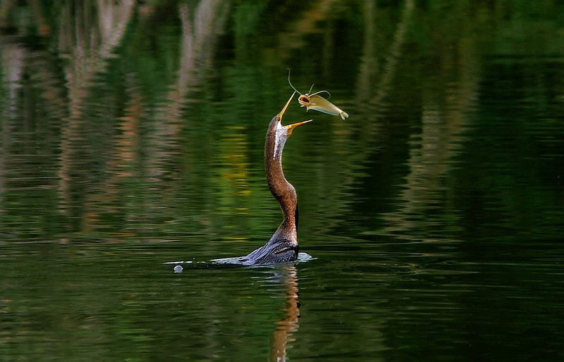 Snake Bird tosses a Cat fish before gobbling it down.