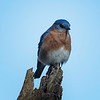 Bluebird, Eastern -5140