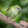 Honeycreeper, Red-legged (Female) -5804