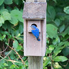 Bluebird, Eastern  D41_0022