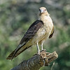 Caracara, Yellow-headed  N60_1139