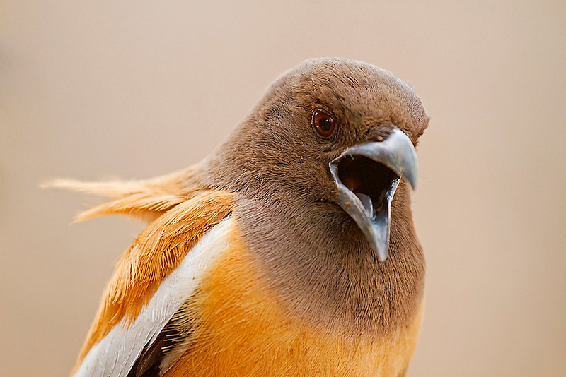 Rufous treepie close up