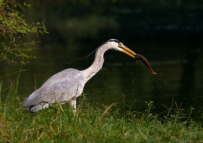 Grey Heron feeding on fish