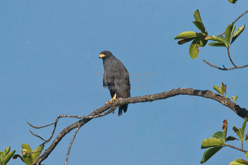 Black-Hawk, Mangrove  N60_9978