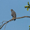 Black-Hawk, Mangrove  N60_9978