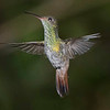 Hummingbird, Rufous-tailed -5351