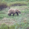 Bear, Grizzly  D41_3474