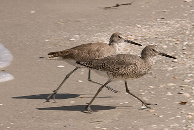 Willet - Breeding plumage (FG), basic non-breeding plumage (background)