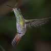 Hummingbird, Rufous-tailed -5359
