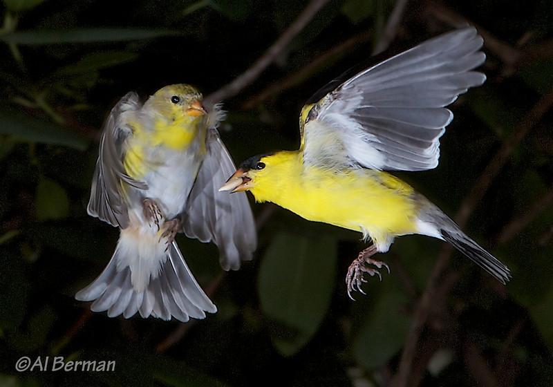 Goldfinches in garden