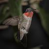 Hummingbird, Ruby-throated D41_6792