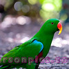 Male Eclectus Parrot