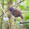 Antbird, Dull-mantled  D41_3012
