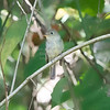 Flycatcher, Yellow-bellied  N60_9792