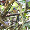 Ant-Tanager, Black-cheeked (Endemic to CR) N60_9491