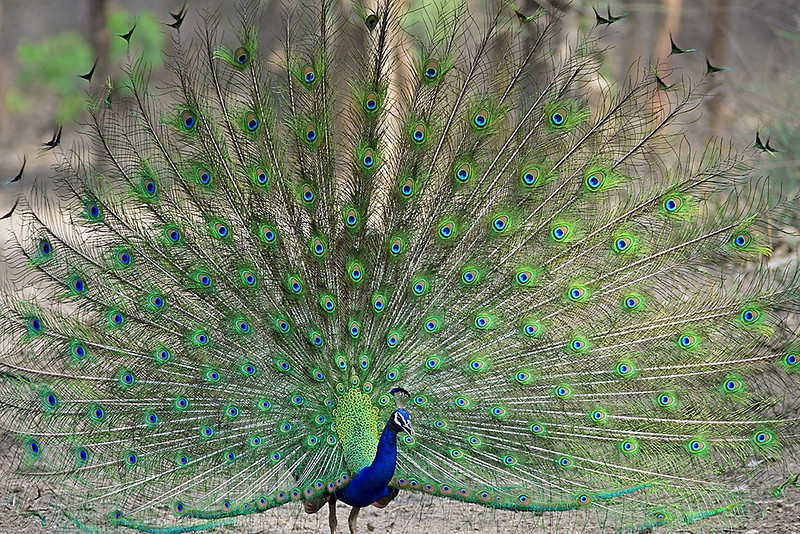 Indian Peacock dancing in the jungle.