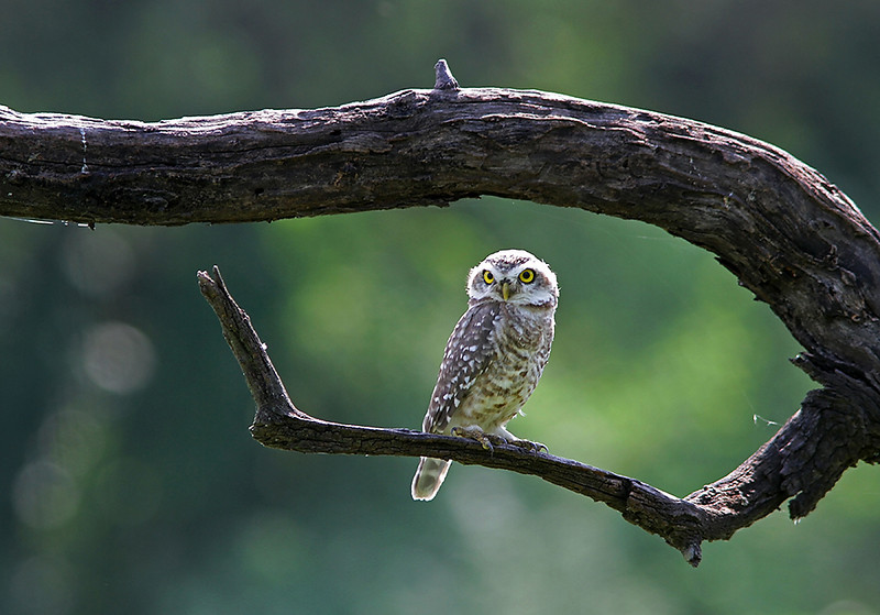 Spotted Owlet portrait