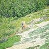 Fox, Red (Alaska) -D41_3552