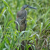 Tiger-Heron, Bare-throated -9242